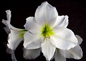 stock photo of white flower  - White flower amaryllis in the winter on table - JPG