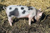 One Young Piglet On Hay And Straw At Pig Breeding Farm. Small Black Piggy In Farm. Pig Farming Is Ra poster