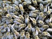 Mistress Bee Colonies. Queen Bee Is Larger Than Worker Bee. Queen Bee Surrounded By Her Workers. Bee poster