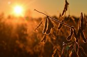 Mature Soybean Pods, Back-lit By Evening Sun. Soy Agriculture poster