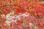 picture of bearberry  - Autumn color palette in the nature  - JPG