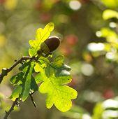 Oak Leaf, Acorn On Oak Tree Background. poster