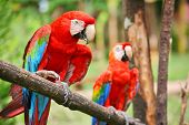 stock photo of parrots  - Parrots - JPG