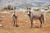 Two donkeys mule. Island Socotra
