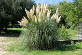 Pampas Grass Or Cortaderia Selloana Perennial Flowering Plant Tall Grass With Long And Slender Green poster