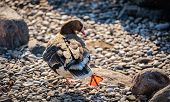 Duck With A Drake On The Stones. Migratory Birds. poster