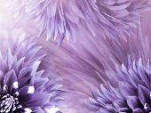 Floral Purple Background. Flowers  Dahlias Close-up On A  Light Purple-pink  Background.  Flowers Co poster