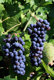 image of wine grapes  - Grapes on the wine - JPG