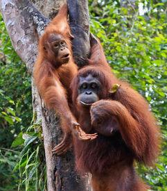 image of jungle animal  -  two  orangutan   in sarawak  - JPG