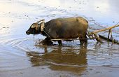 foto of female buffalo  - Buffalo in the field Indonesia Bali  - JPG