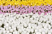 stock photo of pinky  - Flower beds with a lot of pinky - JPG