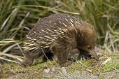 image of ant-eater  - A beautiful detailed portrait of an Australian Echidna shown here in its natural grassy environment - JPG