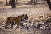 picture of tigress  - The stalking tigress, Ranthambore National Park - Rajasthan, India