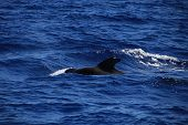 image of orca  - calm and deep ocean in which they live orcas - JPG