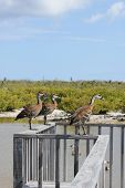 Birds At Bittern Pond, Little Cayman, Cayman Islands, Caribbean
