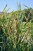 stock photo of bulrushes  - Bulrush on the pond in late  summer - JPG