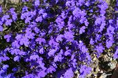 picture of lobelia  - lobelia flowers - JPG