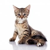 Striped Not Purebred Kitten On A White Background. poster