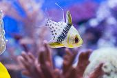 stock photo of saltwater fish  - Sphaeramia nematoptera  - JPG