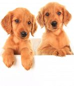 image of golden retriever puppy  - A golden Irish - JPG