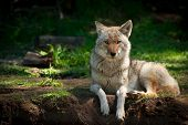 foto of jackal  - A beautiful North American Coyote  - JPG