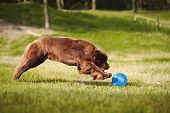 picture of frisbee  - a big brown Newfoundland dog catching the Frisbee Disc - JPG
