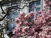 stock photo of saucer magnolia  - An image of magnolia trees in front of a European building - JPG