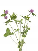 picture of red clover  - red clover  - JPG