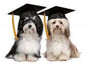 foto of eminent  - A pair of proud graduation havanese dogs with cap isolated on white background - JPG