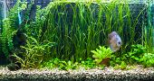 foto of diskus  - A green beautiful planted tropical freshwater aquarium with colorful tropical fish of the Symphysodon discus spieces - JPG