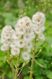 stock photo of butterbur  - Butterbur seeding - JPG