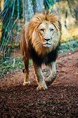stock photo of female buffalo  - Portrait of male lion walking on path - JPG