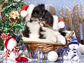 stock photo of sheltie  - christmas puppies Sheltie wearing a santa hat - JPG