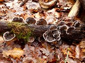 stock photo of bracket-fungus  - Trametes versicolor - JPG