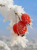stock photo of wild-brier  - Rosehip branches covered with hoarfrost - JPG