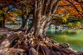 stock photo of crystal clear  - Giant Bald Cypress Trees with Bright Fall Foliage and Gnarly Roots at Guadalupe State Park, Texas