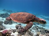 stock photo of hawksbill turtle  - A Hawksbill turtle  - JPG