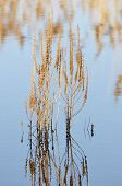 stock photo of dock a pond  - Old Dock seeds head in winter pond with reflection