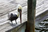stock photo of cortez  - Brown pelican  - JPG