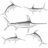 Hand drawn illustration of Swordfish