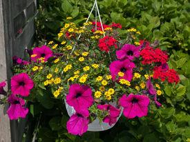 foto of flower pot  - Beautiful hanging flowerpot basket with red flowers in a garden - JPG