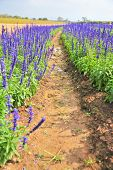 pic of blue-salvia  - blue salvia - JPG