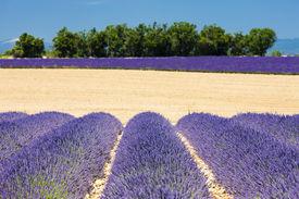 picture of lavender field  - lavender field Plateau de Valensole Provence France - JPG