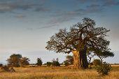 foto of baobab  - African landscape with a big baobab tree - JPG