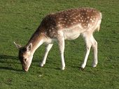 picture of bambi  - Close up of young reindeer in the Cheshire countryside in England