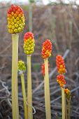 stock photo of arum  - Mature fruits of gigaro clear bread of snake or arum italicum