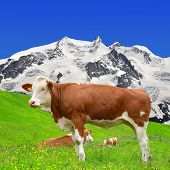 image of rosa  - Cow on the meadow - JPG