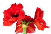 foto of belladonna  - Red Amaryllis isolated in front of white background - JPG