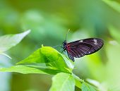 picture of postman  - Red Postman butterfly Heliconius Erato Notabilis in green leaf outdoor - JPG