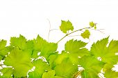 picture of grape leaf  - fresh grape leaves isolated on white - JPG
